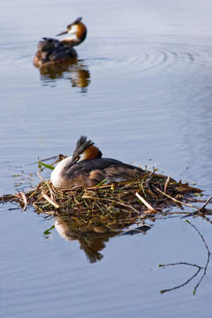 Couple Great crested Grebe in spring on nest with reflection in water photo