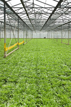 monoculture: Monoculture of Andive plants growing in glasshouse in summer - vertical