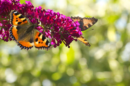nymphalis: Two Small tottoiseshell butterflies on Butterfly bush in the garden in summer with bokeh background and copyspace