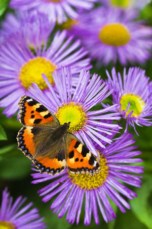 nymphalis: Small tortoisesehell butterfly on China aster flowers in summer Stock Photo