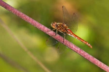Resting red Vagrant darter or Sympetrum vulgatum dragonfly in summer photo