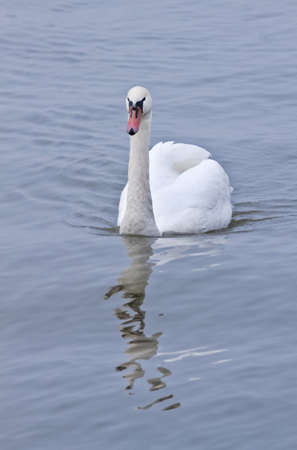 myst: White Mute Swan  or Cygnus olor with reflection swimming on misty morning Stock Photo