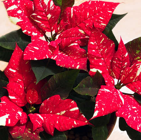 often: White speckled Poinsettia or Euphorbia pulcherrima flowers, often used as decoration with christmas