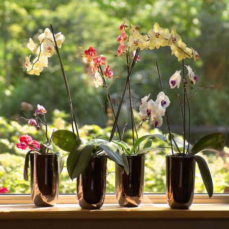 Window-sill and plant pots with Moth Orchids or Phalaenopsis with glassreflections and trees in background outdoors - square  photo