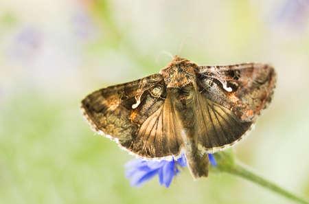 gamma: Polilla Migratorias Plata Y o Autographa gamma mariposa se alimentan de las flores Foto de archivo