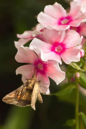 gamma: Movimiento r�pido polilla Migratorias Plata Y o Autographa gamma mariposa aliment�ndose de flores Phlox rosa en verano Foto de archivo