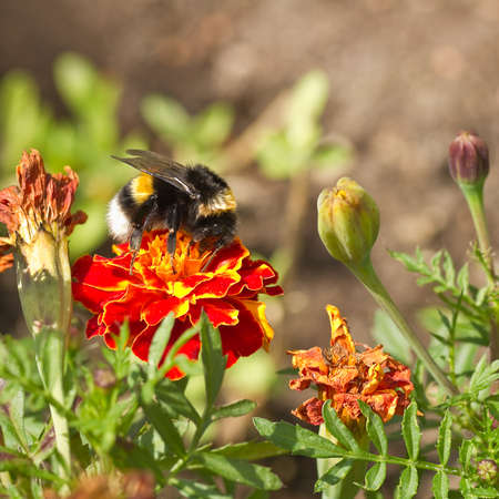 tagetes: Orange and red French marigold or Tagetes patula with bumble bee and dried flowers in summer - square Stock Photo