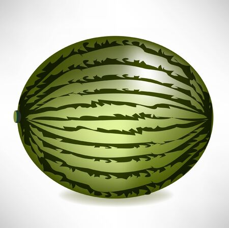 big realistic watermelon isolated Vector