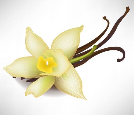 flor de vainilla: flores realistas de vainilla y palos