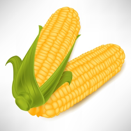 maize: two corncobs in pile isolated on white background