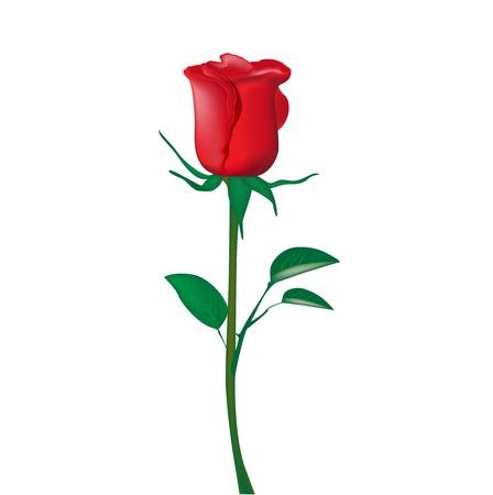 róża: pojedynczy czerwona róża na białym Ilustracja