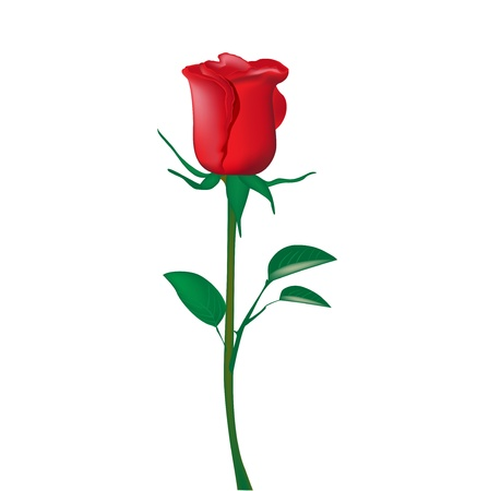 rose stem: single red rose isolated on white Illustration