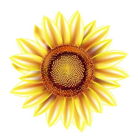 sunflower isolated: solo girasol aislado en blanco
