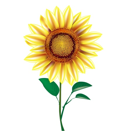 sunflower plant isolated on white background Stock Vector - 14969167
