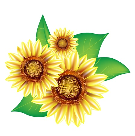 three sunflowers with leaves isolated on white Stock Vector - 14969203