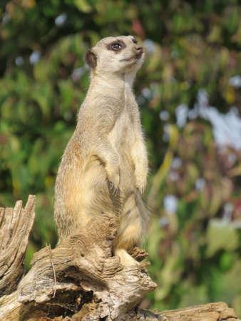 sentry: Meerkat standing sentry on a log