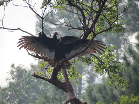 turkey vulture: Turkey Vulture drying its wings after a rain shower in Vinales valley, Cuba
