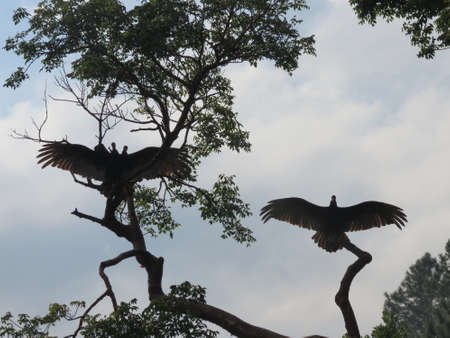turkey vulture: Turkey Vulture drying its wings after a rain shower in the Vinales valley, Cuba Stock Photo
