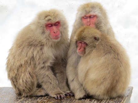 Three Japanese Macaques (Snow Monkey) huddled together for warmth Banco de Imagens