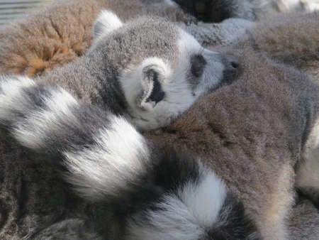 ring tailed: Ring tailed Lemur huddled together with others