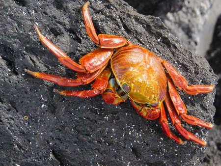 throughout: Sally Lightfoot crab, found throughout the Galapagos Islands