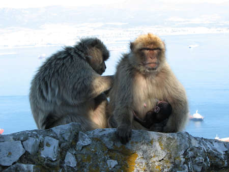 roam: Barbary Apes are free to roam on the Rock of Gibraltar and are a major tourist attraction.