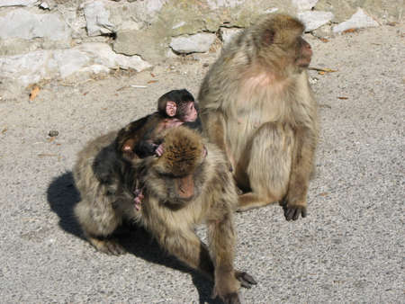 barbary ape: Barbary Apes are free to roam on the Rock of Gibraltar and are a major tourist attraction.