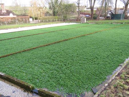 berros: Campo de berros creciendo en el campo de Hampshire.