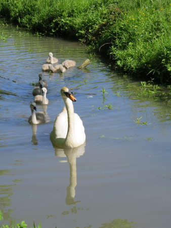 brood: Female swan with its brood of cygnets. Stock Photo