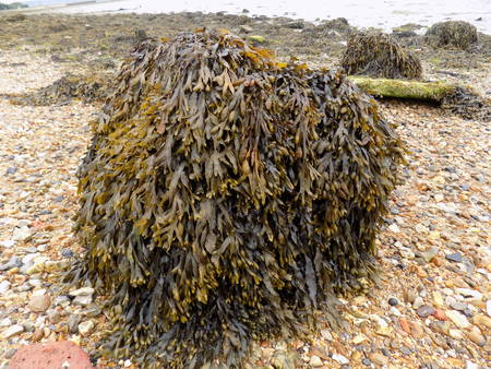 wrack: Bladder wrack seaweed covering a rock on the foreshore of Langstone harbor in Portsmouth UK.