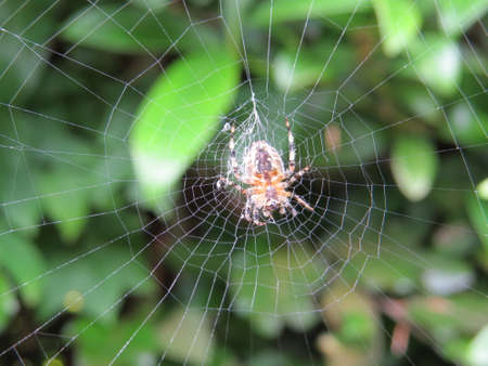arthropod: Spider on its web awaiting its prey.