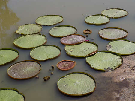lily pads: Giant lily pads in a pond in Thailand