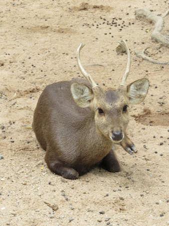 hog: Hog deer native to Thailand.