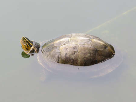 Terrapin in a pond in a park in Thailand.