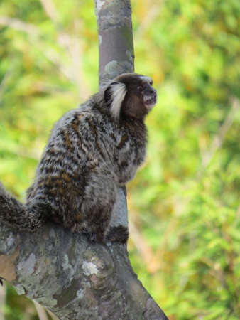 marmoset: Marmoset monkey. Native to South America, this one was living on Sugarloaf Mountain in Rio De Janeiro.