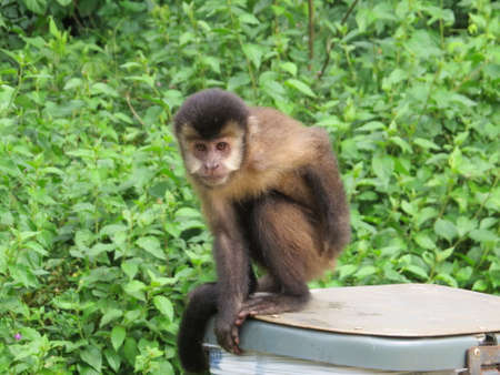 learnt: Monkey perched on a litter bin in the Iguazu National Park in Argentina. These animals have learnt to open bins to get at the waste food inside. Stock Photo