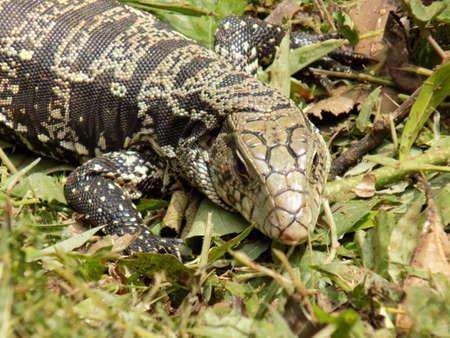 blooded: Lizard pictured near the Iguazu falls in Argentina. Stock Photo