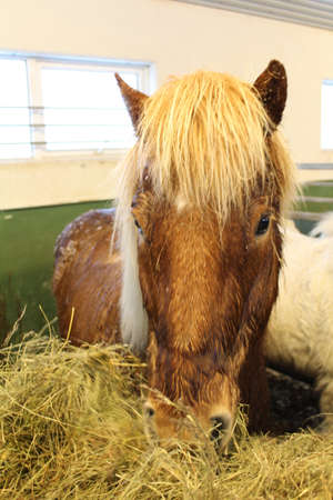 icelandic: Icelandic horse. To maintain the purity of the breed, if any horse leaves Iceland, it can never return.