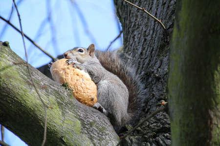 stole: La ardilla gris en las ramas de un árbol comiendo un bollo de pan que robó de repique de picnic. Foto de archivo