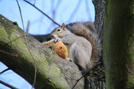 robo: La ardilla gris en las ramas de un árbol comiendo un bollo de pan que robó de repique de picnic. Foto de archivo
