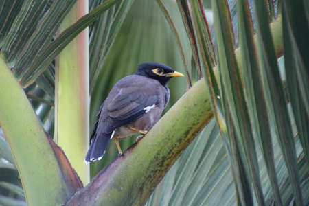 common myna bird: Common Myna perched in a palm tree on the isle of Mauritius. Stock Photo