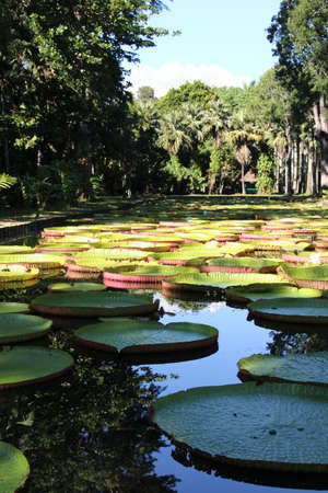 waterlilly: Giant African Waterlillies in a pond on the island of Mauritius. Stock Photo