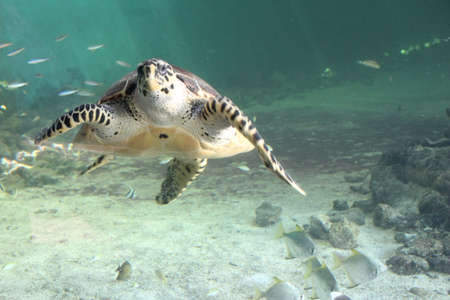 aquatic reptile: Sea turtle. These are commonly found in the waters around the isle of Mauritius. Stock Photo