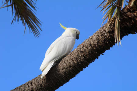 sulphur: Sulphur Crested Cockatoo on the trunk of a palm tree.