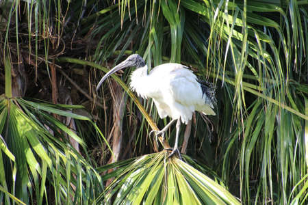 ibis: White Ibis perched in a tree in an Australian park.