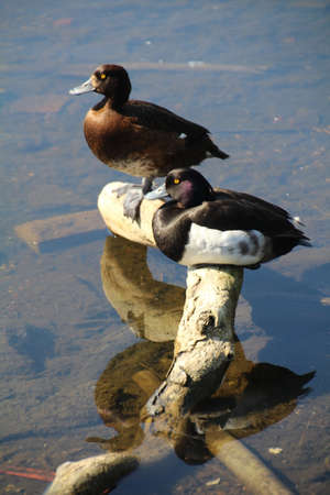 resides: The Tufted Duck (Aythya Fuligula) is a small diving bird that resides in the UK and a large part of central Europe. It is usually found near freshwater lakes and large ponds. Pictured is a male and female of the species.