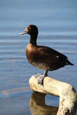 De Tufted Duck (Aythya Fuligula) is een kleine duikvogel die woont in het Verenigd Koninkrijk en een groot deel van Midden-Europa. Het wordt meestal gevonden in de buurt van zoetwatermeren en grote vijvers. Afgebeeld is een vrouwtje van de soort.