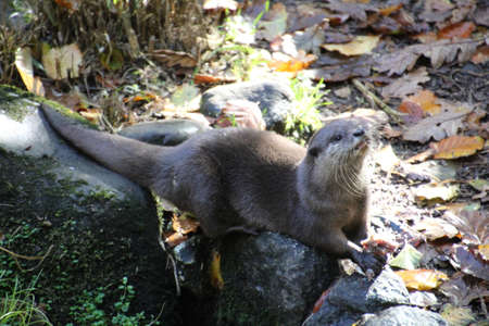 Asian Otter. These are about a third of the size of their Europeon counterparts. Originally, were probably escaped pets, they are thriving in Cornwall, UK.