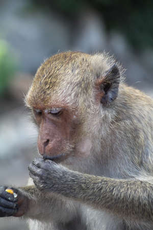 Long-Tailed Macaque on Khao Takiab (also known as Monkey Mountain) in Thailand.