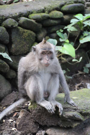 Balinese Long Tailed Monkey (Macaca Fascicularis) native to the Indonesian island of Bali. Stock Photo